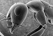 Ant micro 1