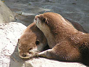 otter snooze