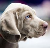 Canis lupus familiaris