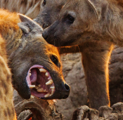 Hyenas are legit members of the animal kingdom.