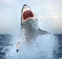 shark-0