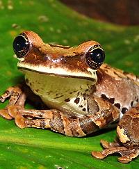 bromeliad frog