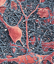 neurons and glial cells