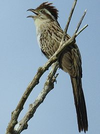 striped cuckoo 1